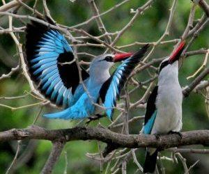 Het verhaal van de Woodland Kingfisher